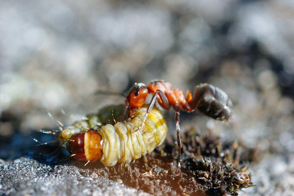 Priske saagiga sipelgas 2