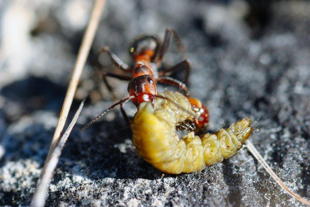 Priske saagiga sipelgas